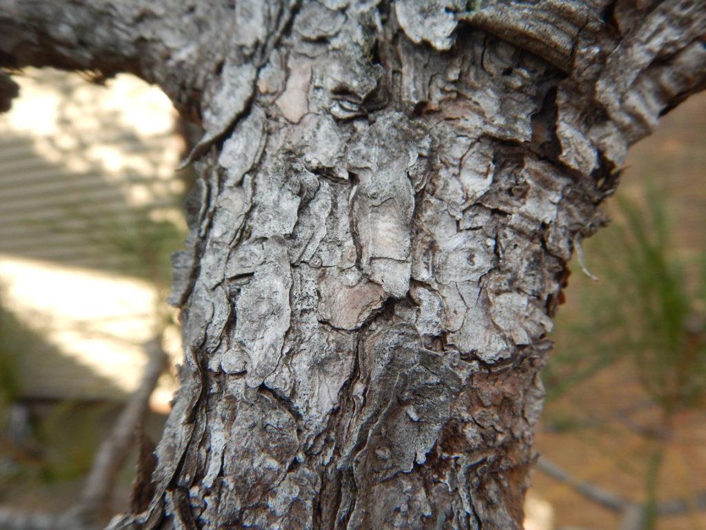 クロマツの幹