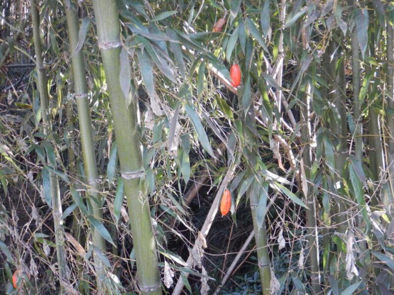 竹の中のカラスウリ