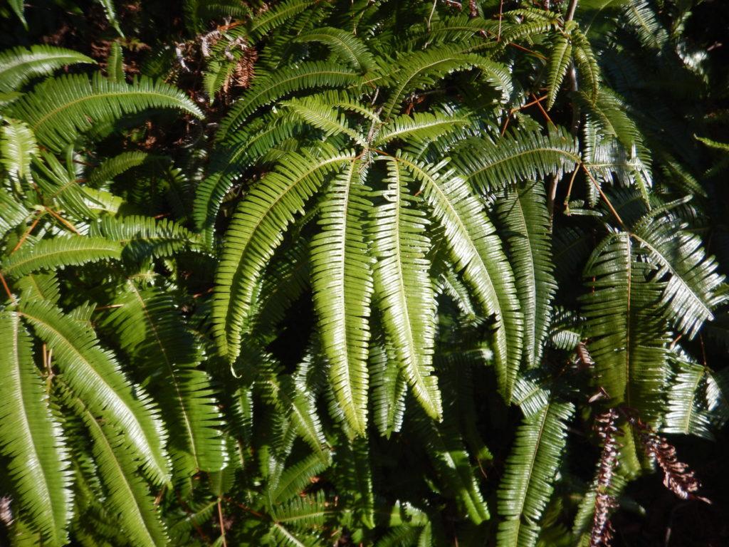 コシダの葉