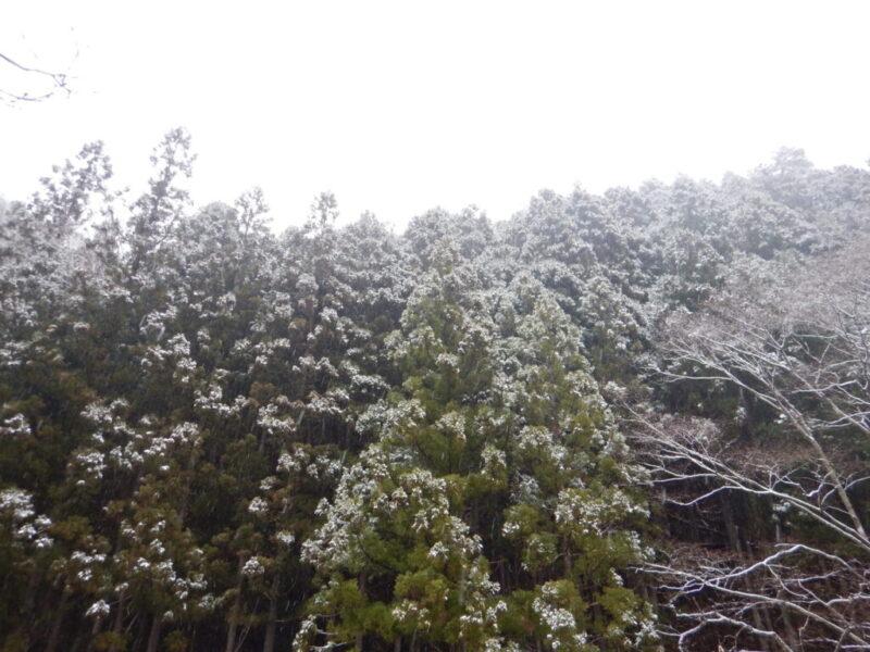 杉林に降る雪