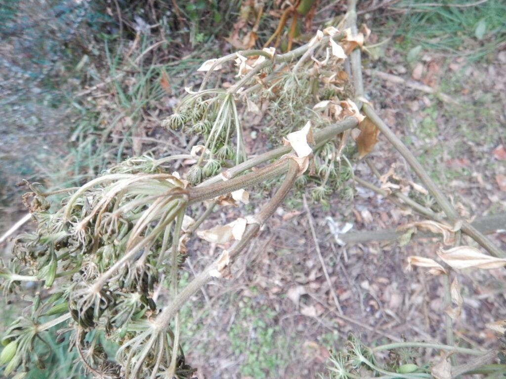 種をつけたアシタバの苗