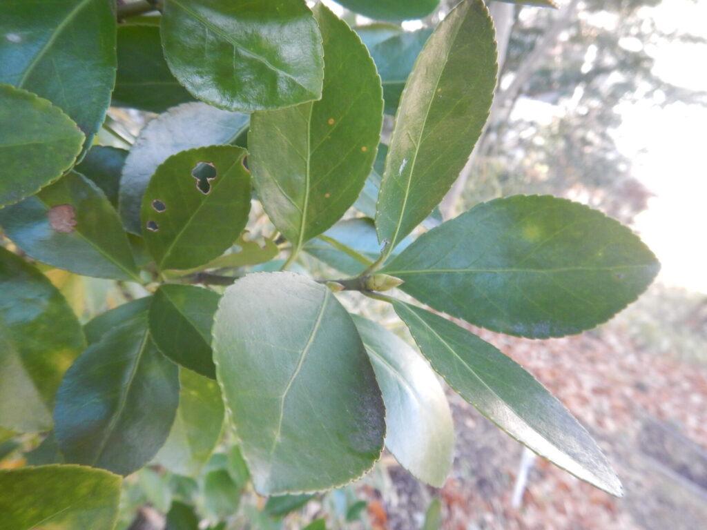 マサキの枝と葉