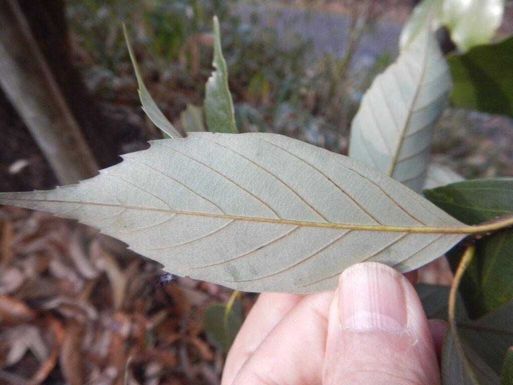 アラカシの葉の裏面