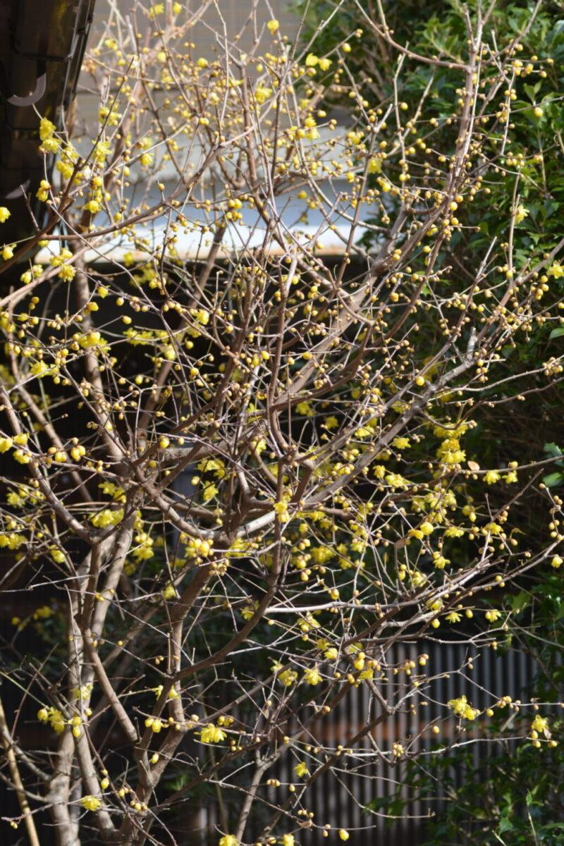 ロウバイの樹と花(1月1日)