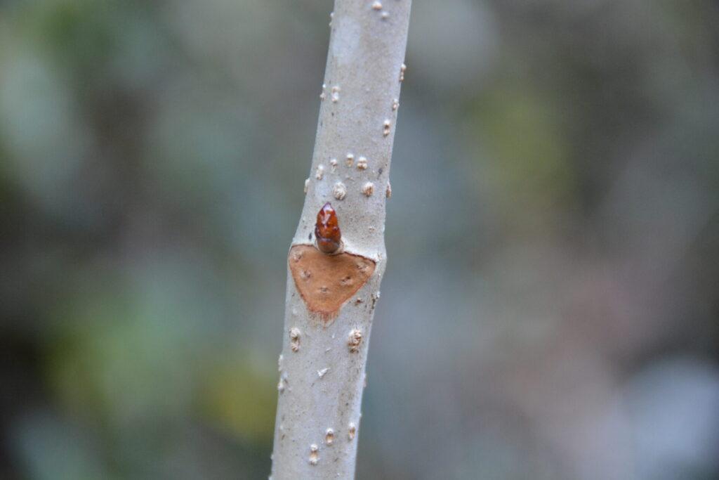 トチノキの葉痕と冬芽