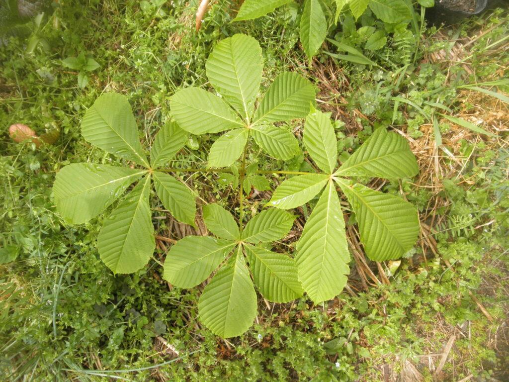葉を広げたトチノキ