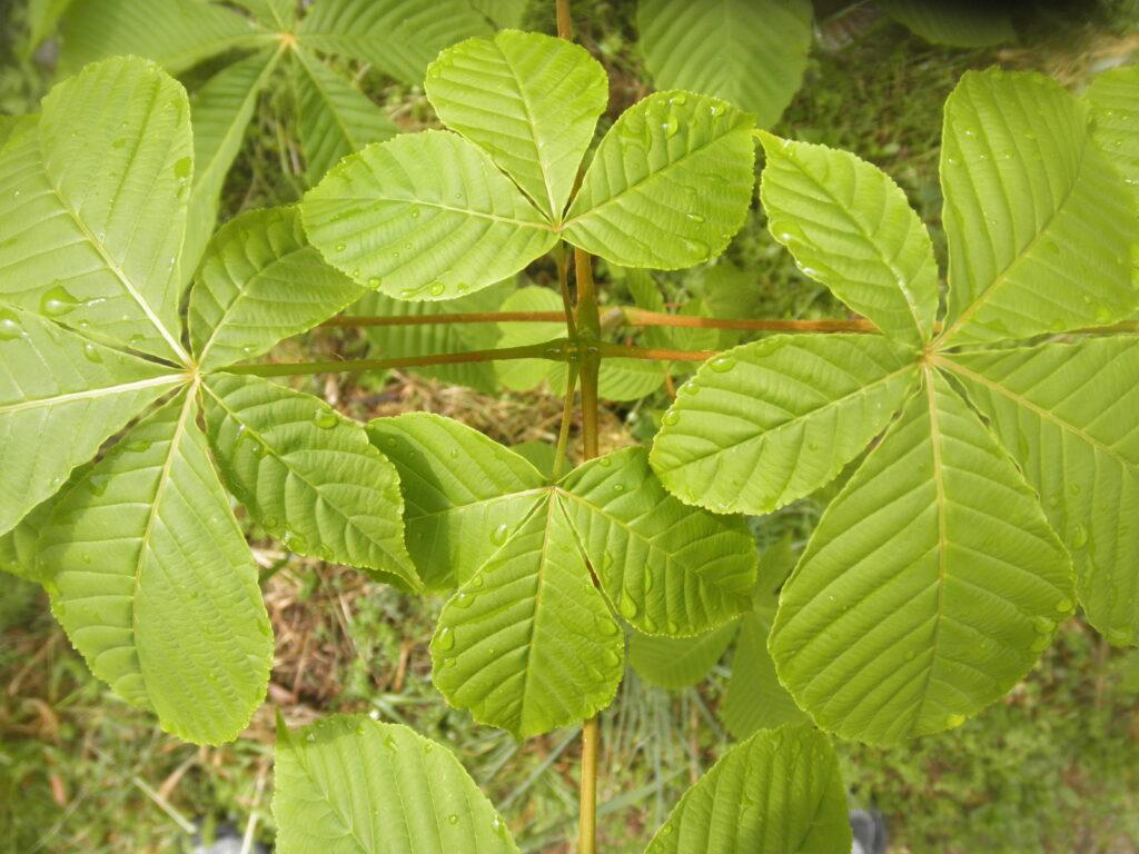 トチノキの葉の付き方