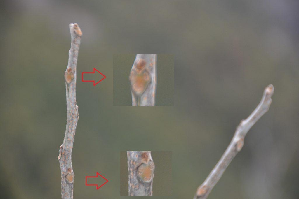 ムクロジの葉痕