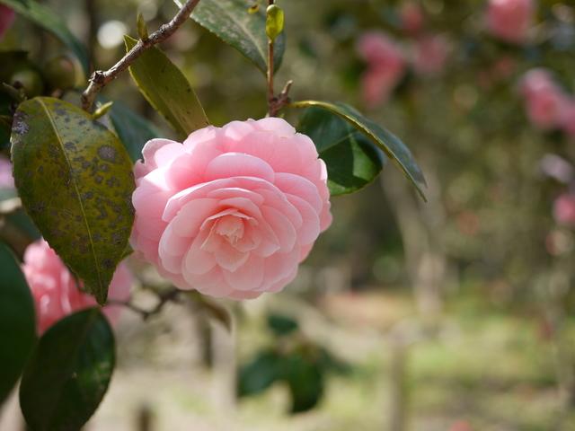 八重咲の椿