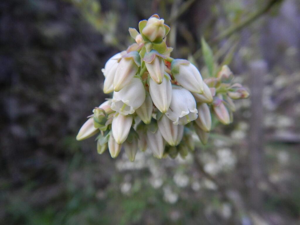 ブルーベリーの花(4月)