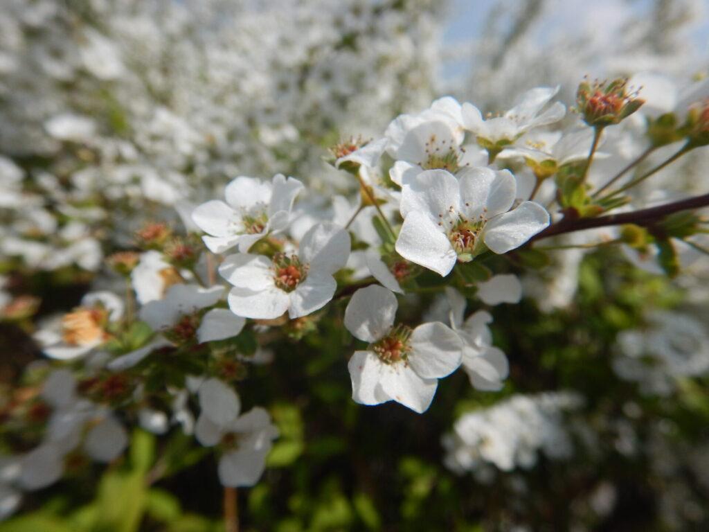 元気よく咲いたユキヤナギ(3月26日)