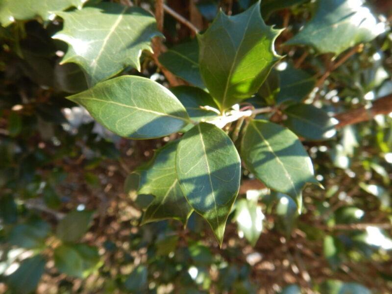 わが家のヒイラギの樹の葉