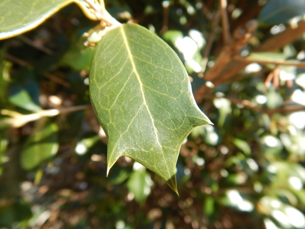 トゲが少ないヒイラギの葉
