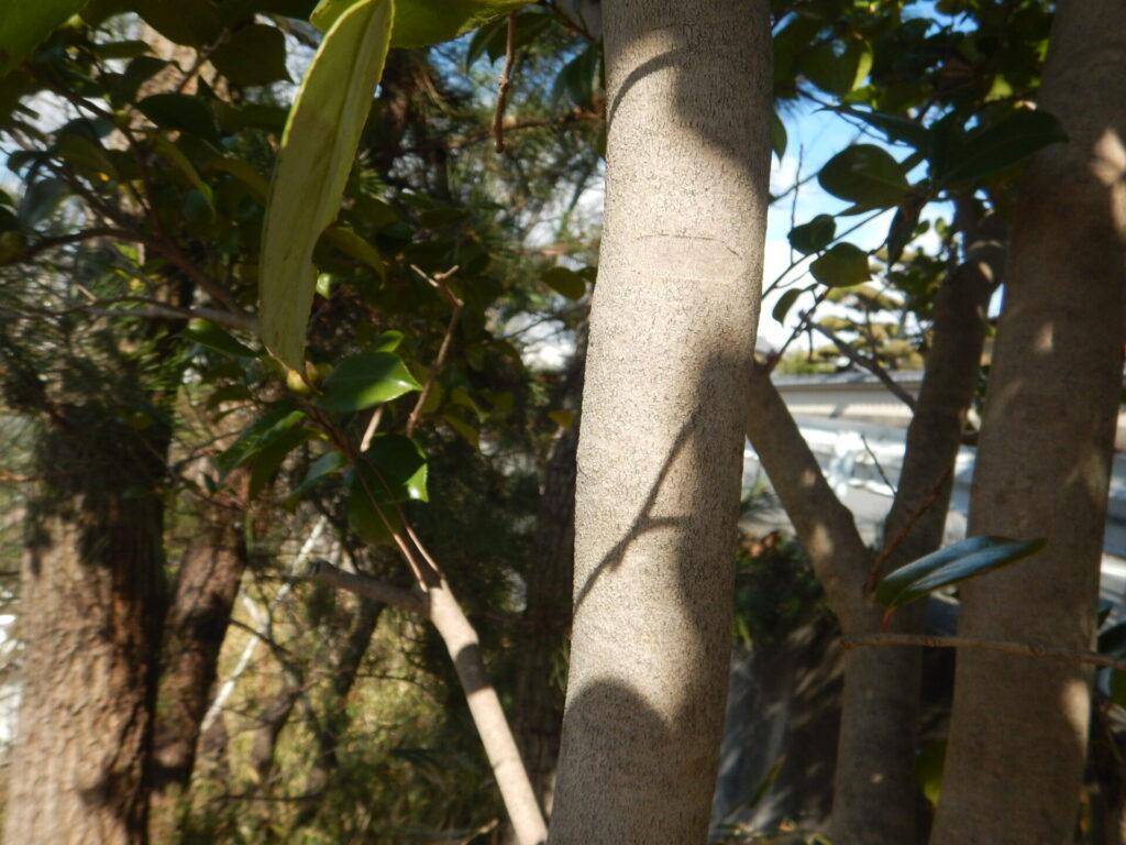 ツバキの樹皮