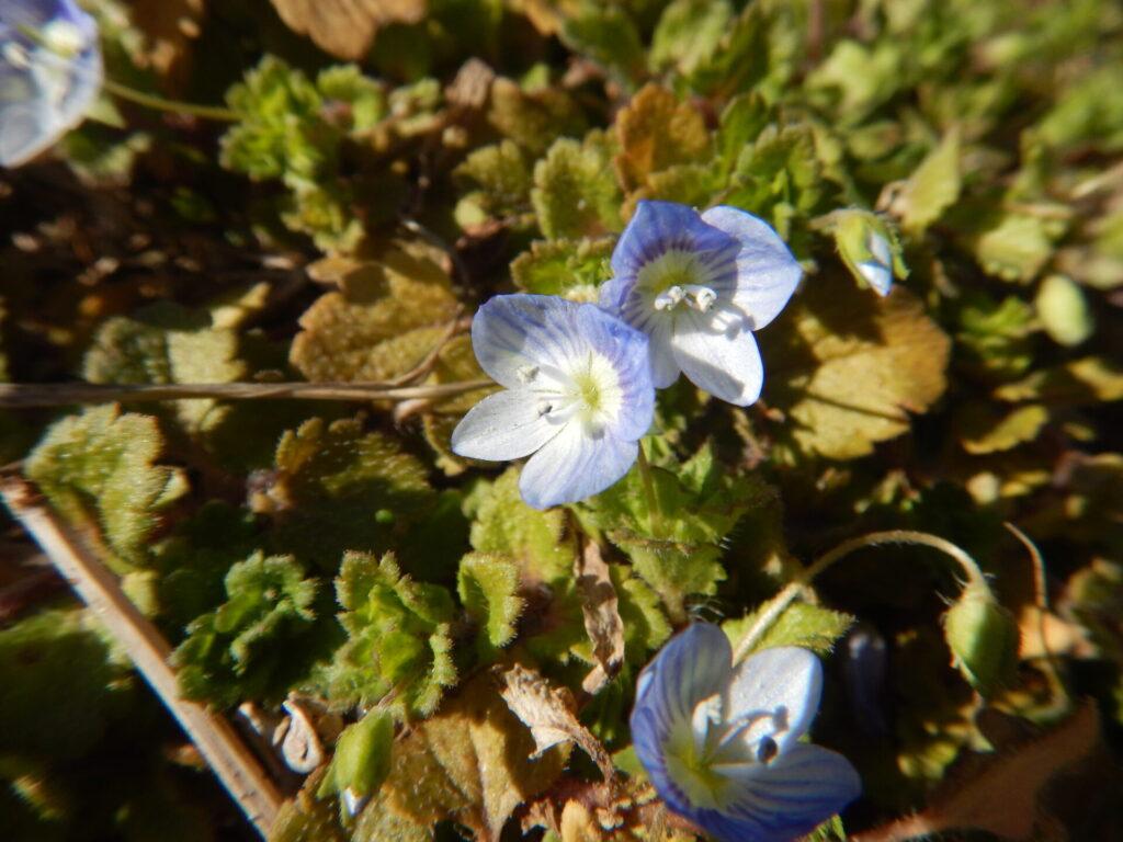 オオイヌノフグリの花と葉