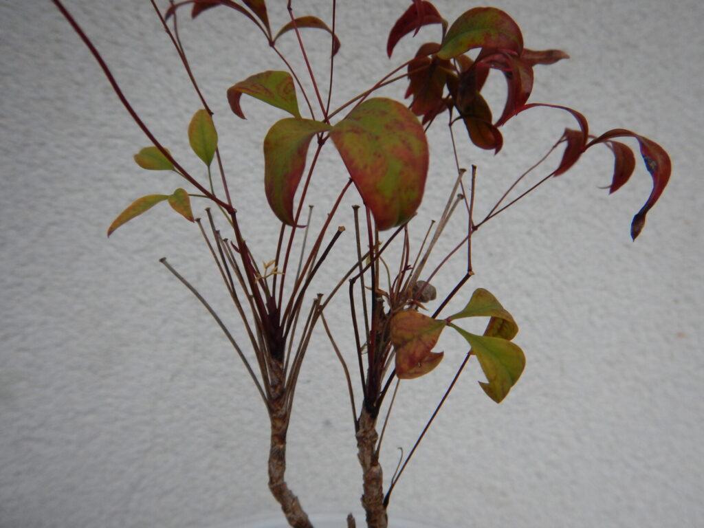 たくさんの枝が出るオタフクナンテン