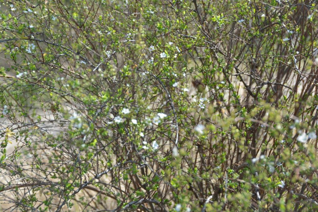 ユキヤナギの花たち