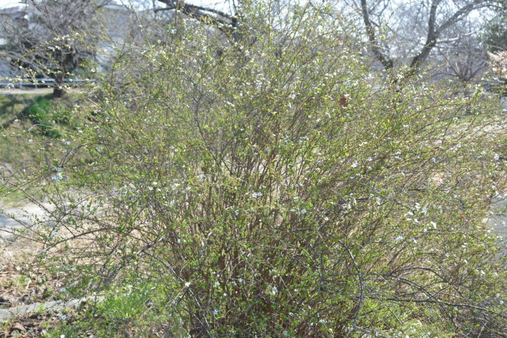 ちらほらと咲くユキヤナギ