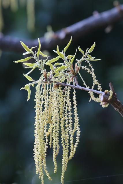 シラカシの花