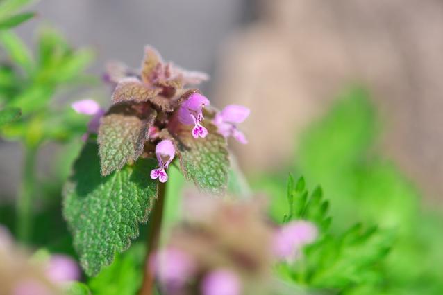 ヒメオドリコソウの花