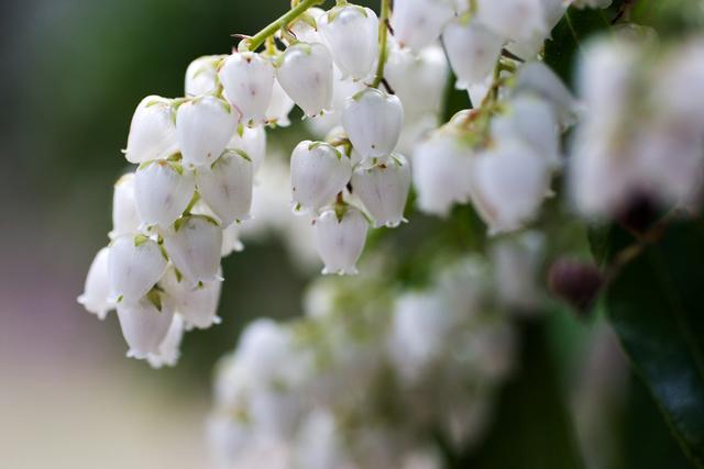 近くで見るアセビの花
