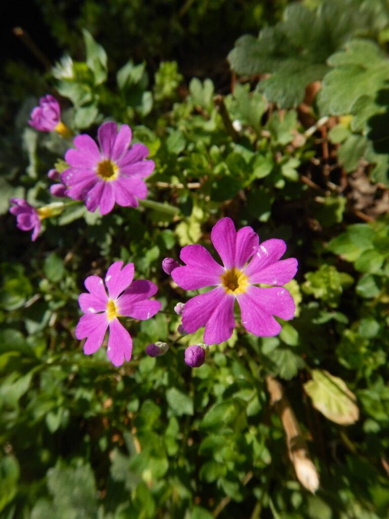 くで見たサクラソウの花