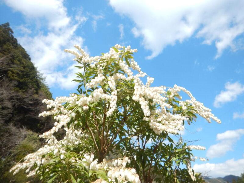 白く咲くアセビ
