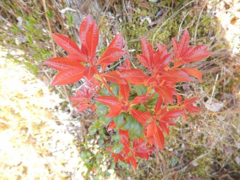 赤くなったアセビの葉(5月)