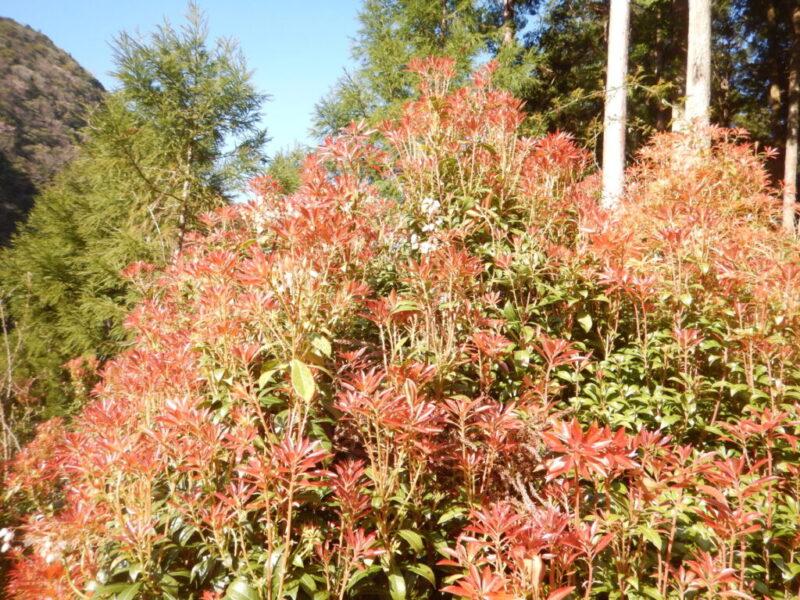 樹全体が赤くなったアセビ(4月)