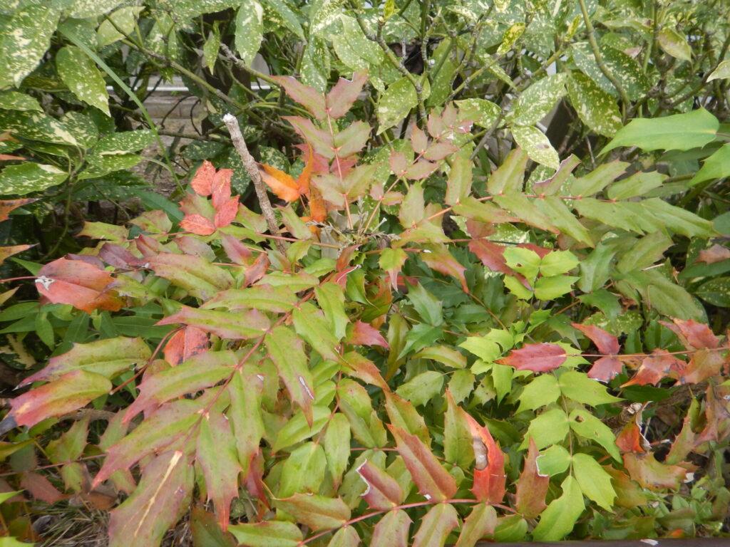 紅葉中のヒイラギナンテン(11月13日)