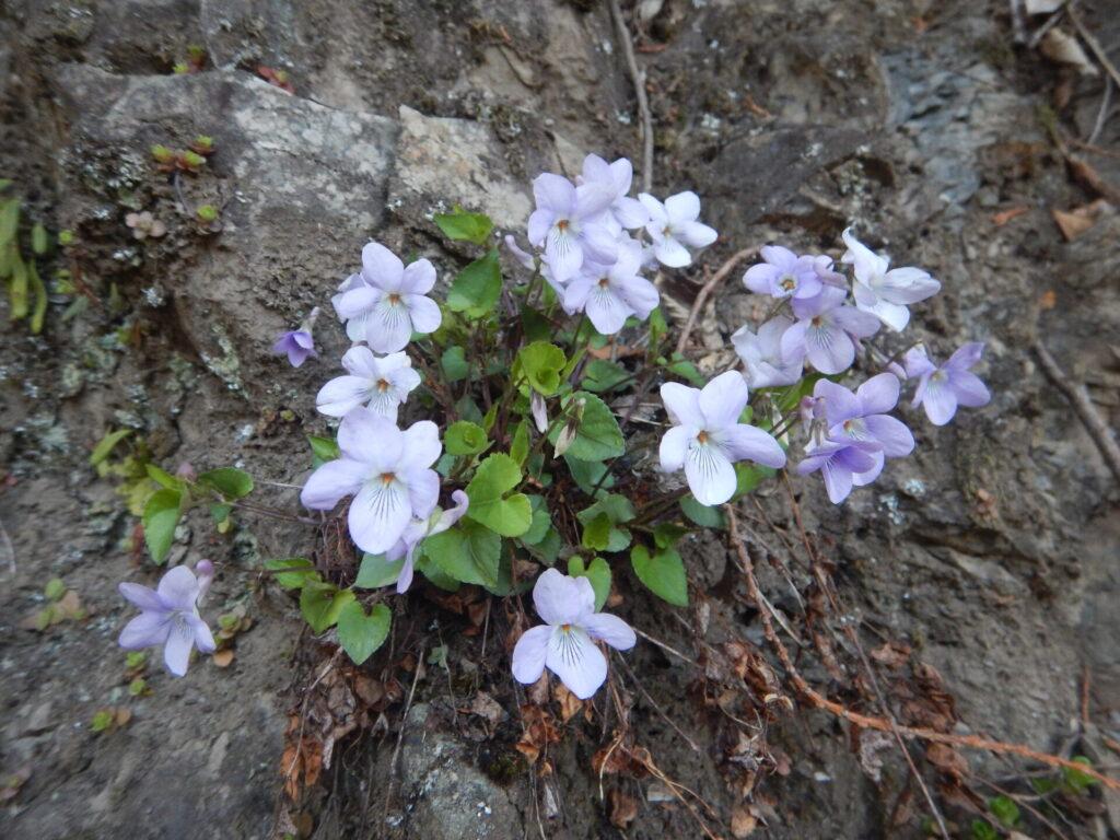 石垣に咲くスミレ