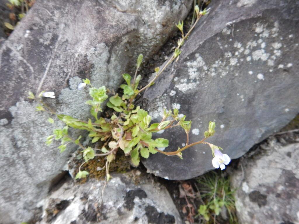 トキワハゼの花と葉・茎