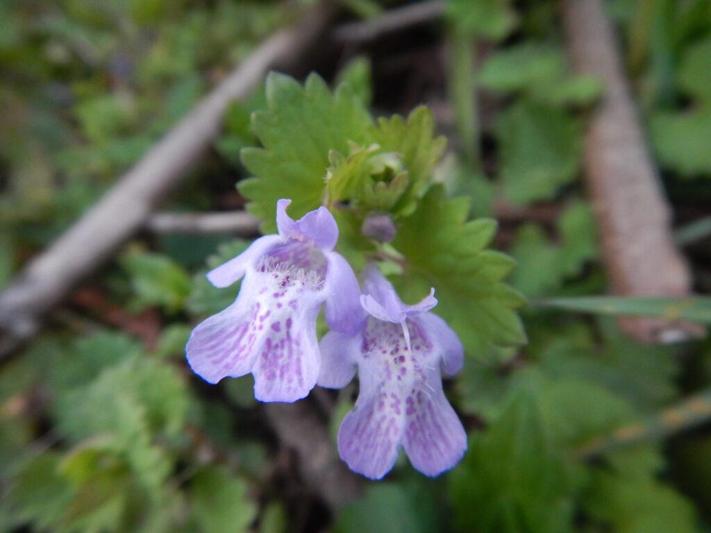 近くで見たカキオドシの花