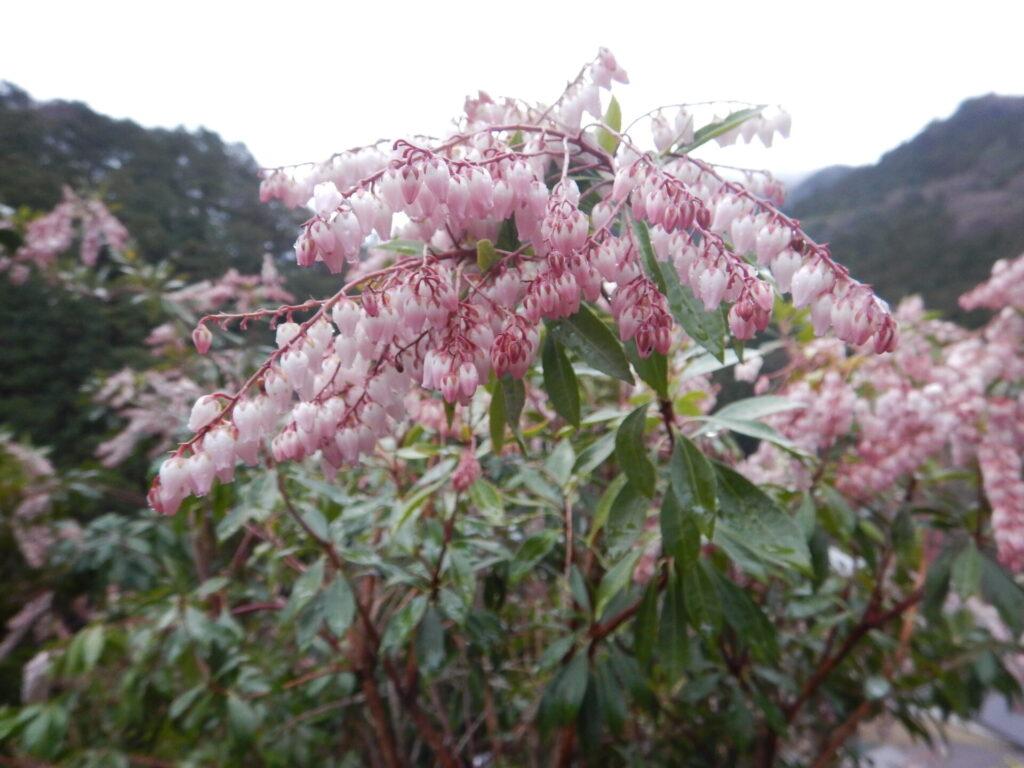 山で咲くアセビの花