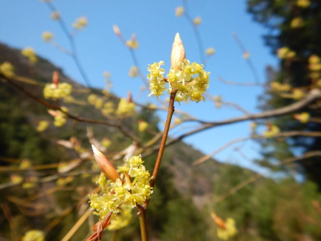 山で咲くクロモジ