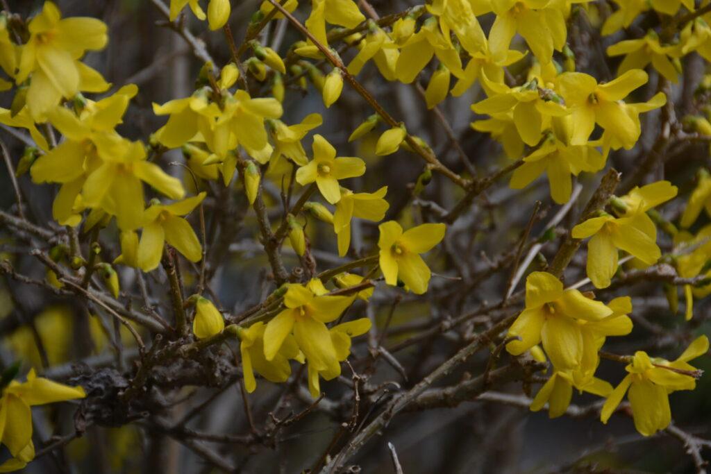 たくさんのレンギョウの花
