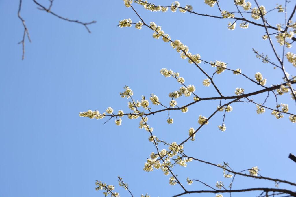 花がまとまってつくスモモ