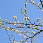 スモモの花