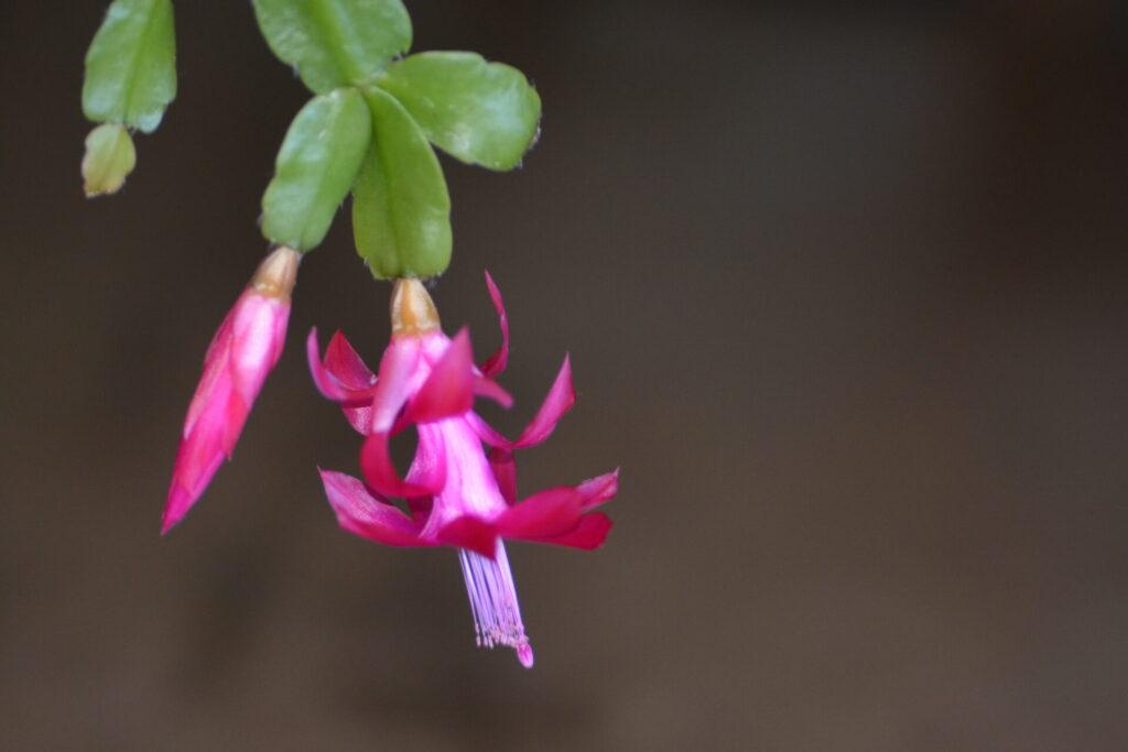 カニサボテンの花(3月3日)
