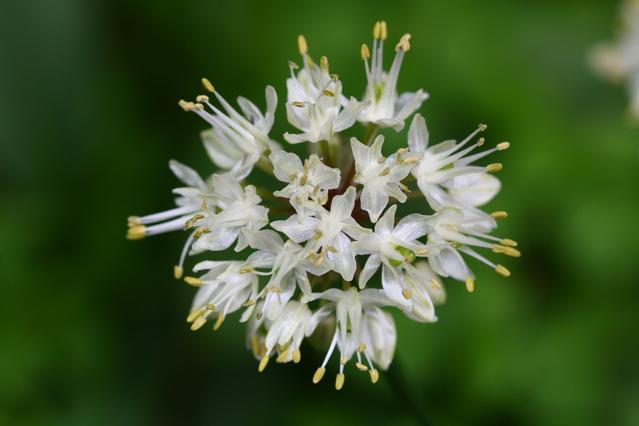 ギョウジャニンニクの花
