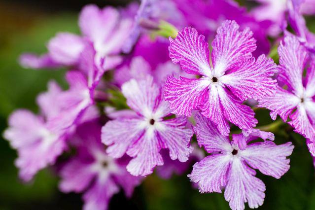 花びらに模様があるサクラソウ