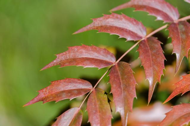 紅葉したヒイラギナンテンの葉
