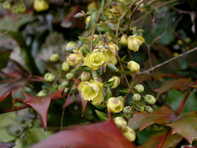 近くで見たヒイラギナンテンの花