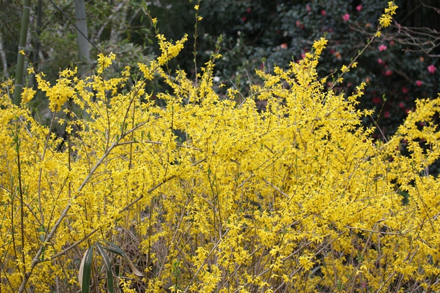 たくさんのレンギョウの樹と花