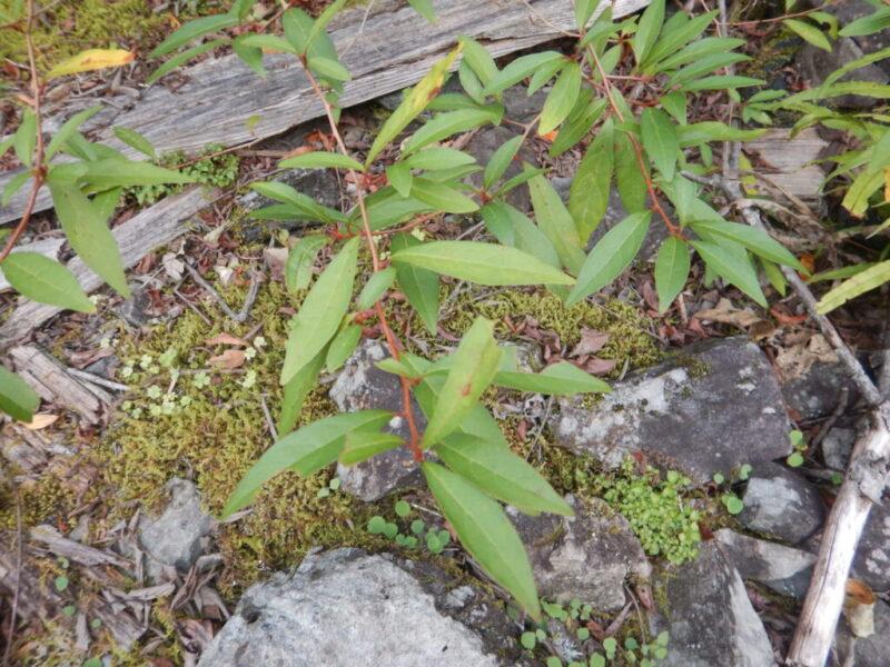 カナクギノキの葉