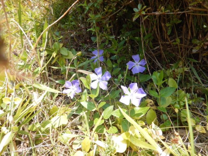 ツルニチニチソウの花々