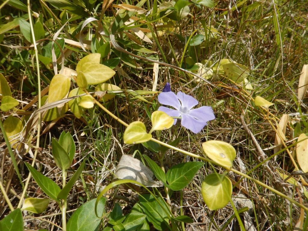ツルニチニチソウの茎と花