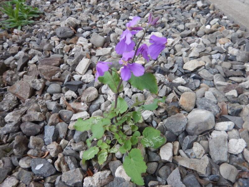 オオアラセイトウの花