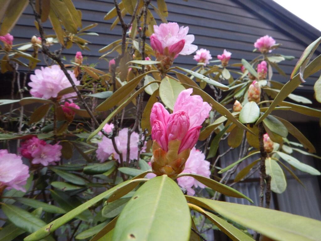 シャクナゲの花とツボミ
