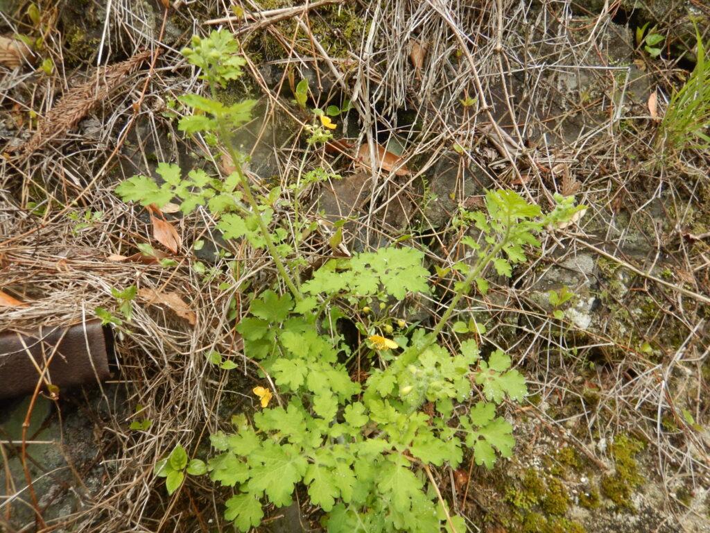 クサノオウの茎と葉
